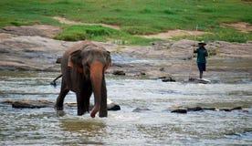 Orfelinato del elefante de Pinnawela en Sri Lanka Imagen de archivo libre de regalías