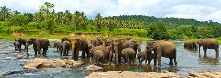 Orfelinato del elefante de Sri Lanka Fotografía de archivo