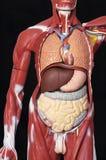 Organ of the body