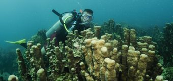 Organ coral and scuba diver Stock Image