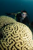 Organ coral and scuba diver. Male scuba diver swimming over coral reef Stock Images