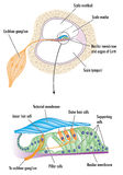 Organ of Corti in the ear. Cross section through the cochlea of the ear with detail of the organ of Corti, showing the tectorial membrane and cells responsible vector illustration