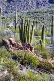Organ leda i rör kaktusen Royaltyfri Bild