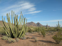 Free Organ Pipe Cactus Royalty Free Stock Image - 14140296