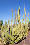 Organ Pipe Cactus Royalty Free Stock Photo