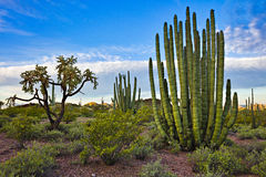 Organ Pipe Cactus Stock Photos