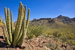 Organ Pipe Cactus NP royalty free stock photography