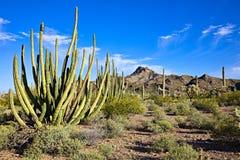 Organ Pipe Cactus. In blooming Sonoran Desert stock photo