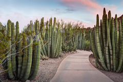 Organ Pipe Cactus Forest Stock Image