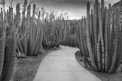 Organ Pipe  Cactus Forest Royalty Free Stock Photography