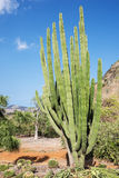 Organ Pipe Cactus in the Koko Crater Botanical Garden Stock Photo