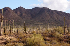 Organ Pipe Cactus National Monument, Arizona, USA Stock Photo