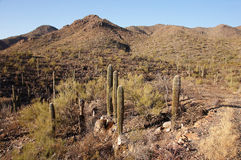 Organ Pipe Cactus National Monument, Arizona, USA Royalty Free Stock Photos