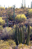Organ Pipe Cactus National Monument Royalty Free Stock Photography