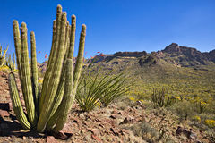Organ Pipe Cactus NP. Organ Pipe Cactus and blooming Ocotillo in Sonoran Desert Stock Photo
