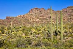 Organ Pipe Cactus NP. Saguaro Cactus in blooming Sonoran Desert royalty free stock image