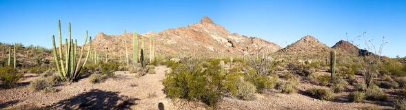Organ Pipe Cactus Royalty Free Stock Photos