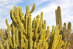 Free Organ Pipe Cactus Saguaro Desert Arizona Stock Photo - 20942150