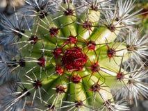 Organ pipe cactus Stenocereus thurberi column tip Stock Image