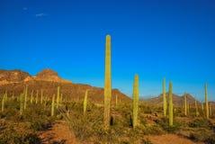 Organ Pipe Cactus. Royalty Free Stock Photos
