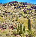 Organ Pipe Cactus Royalty Free Stock Photography