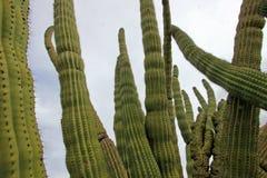 Organ Pipe cactuses in Organ Pipe Cactus National Monument, Arizona, USA. Organ Pipe cactuses in Organ Pipe Cactus National Monument, Ajo, Arizona, USA Royalty Free Stock Image