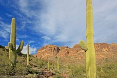 Organ Pipe and Saguaro cactuses in Organ Pipe Cactus National Monument, Arizona, USA. Organ Pipe and Saguaro cactuses in Organ Pipe Cactus National Monument, Ajo royalty free stock photography