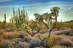 Organ Pipes. Cholla,Organ Pipe Cactus and Saguaros in Organ Pipe Cactus National Monument Royalty Free Stock Photo