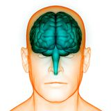 Organe central d'organes de corps humain de Brain Anatomy humain illustration de vecteur