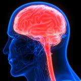 Organe central d'organes de corps humain de Brain Anatomy illustration stock