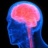 Organe central d'organes de corps humain de Brain Anatomy illustration de vecteur