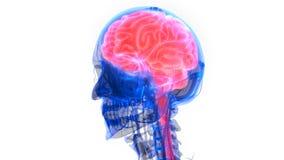 Organe central du système nerveux humain Brain Anatomy illustration libre de droits