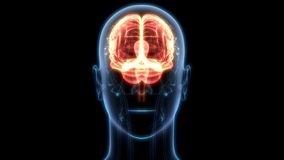 Organe central du système nerveux humain Brain Anatomy illustration stock