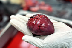 Organe de coeur de wallaby photographie stock libre de droits