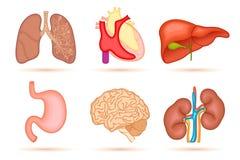 Organe humain illustration stock