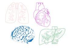 Organen Stock Afbeelding