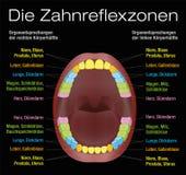 Organes équivalents de réflexothérapie de dents allemands Photographie stock libre de droits