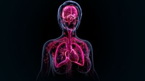 Organes humains photos stock