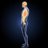 Organes humains avec la vue de partie latérale d'appareil circulatoire images stock