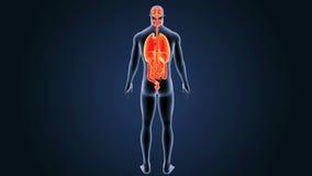 Organes humains avec le corps illustration de vecteur