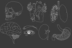 Organes humains réglés Images stock