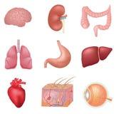 Organes internes humains Photo stock
