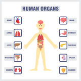 Organes internes humains Photos stock