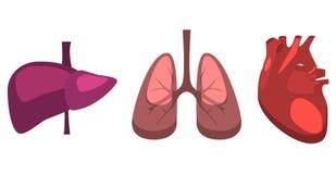 Organes internes humains foie, poumons, anatomie de médecine de coeur Images libres de droits