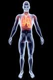 Organes internes - poumons illustration libre de droits