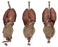 Organi umani Fotografia Stock