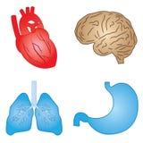 Organi umani. Fotografia Stock Libera da Diritti