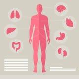 Organi umani Fotografia Stock Libera da Diritti