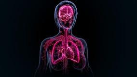 Organi umani Fotografie Stock
