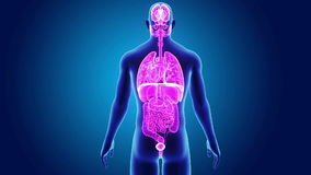 Organi umani con il corpo royalty illustrazione gratis